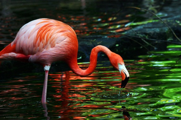 20-beautiful-flamingo-bird-photography